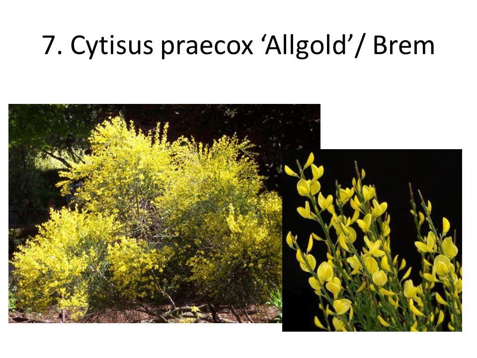 7. Cytisus praecox 'Allgold'/ Brem