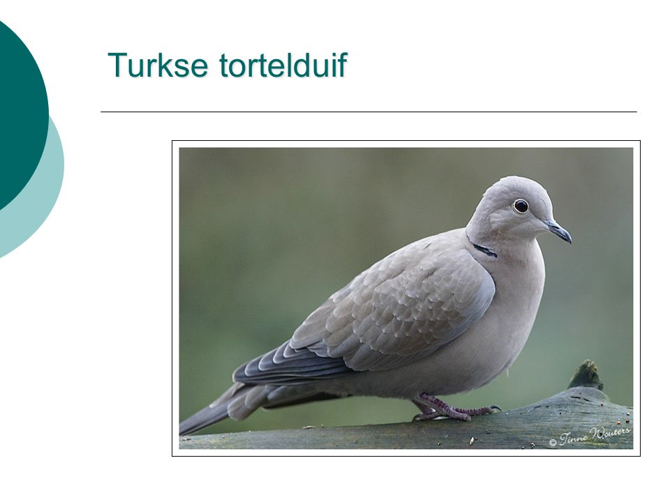 Turkse tortelduif