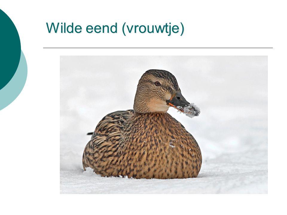 Wilde eend (vrouwtje)