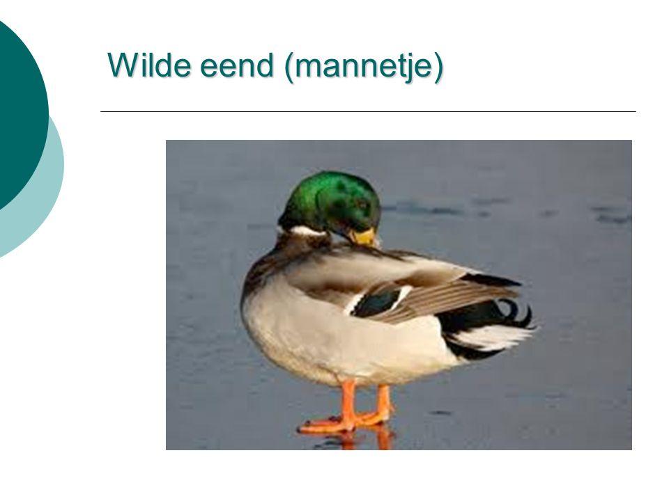 Wilde eend (mannetje)