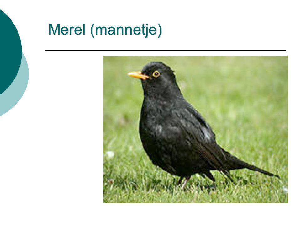 Merel (mannetje)