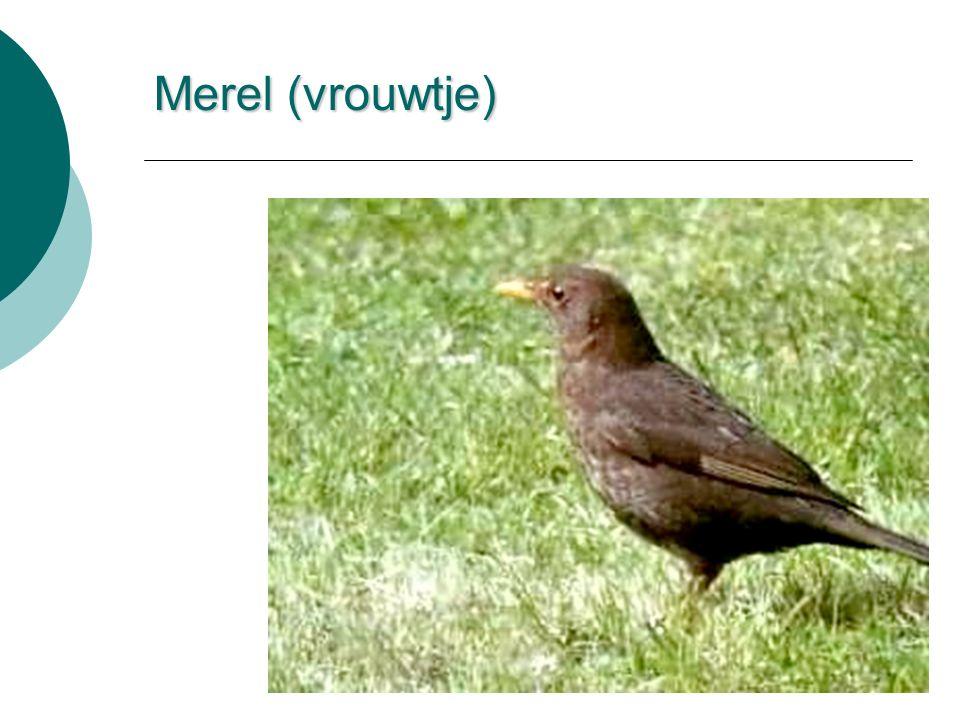 Merel (vrouwtje)