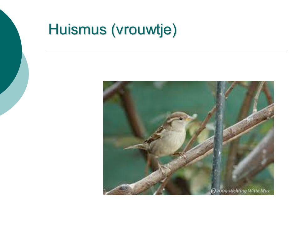 Huismus (vrouwtje)