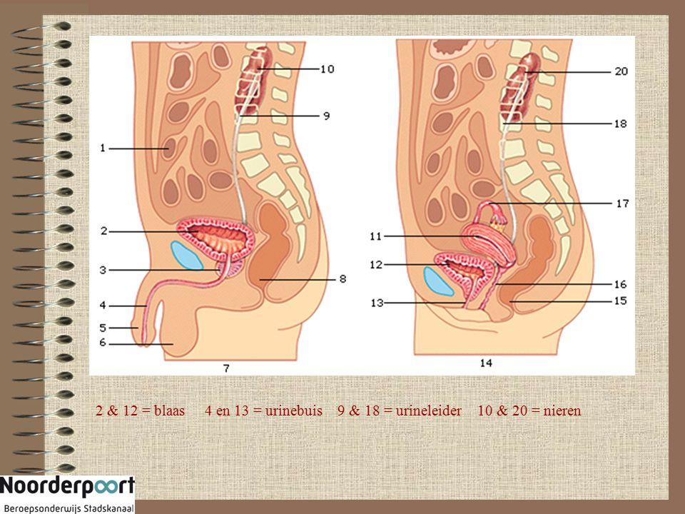 2 & 12 = blaas 4 en 13 = urinebuis 9 & 18 = urineleider 10 & 20 = nieren