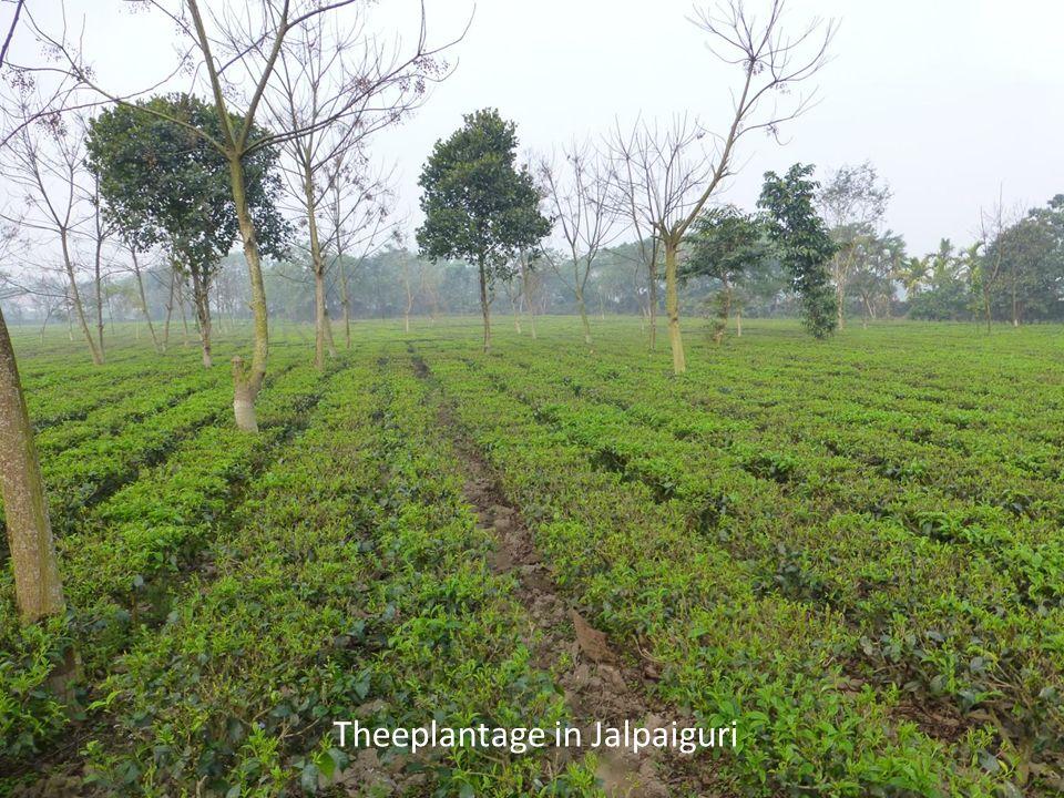 Theeplantage in Jalpaiguri