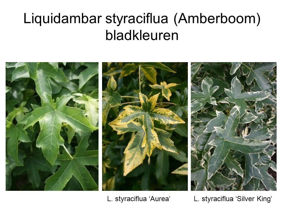 Liquidambar styraciflua (Amberboom) bladkleuren L. styraciflua 'Aurea'L. styraciflua 'Silver King'