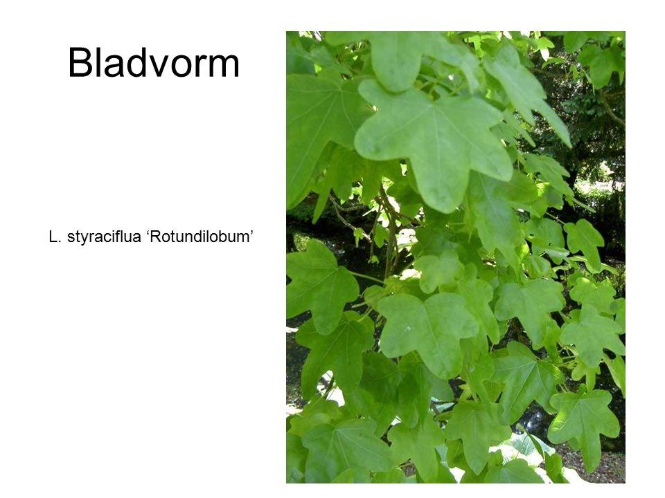 Bladvorm L. styraciflua 'Rotundilobum'