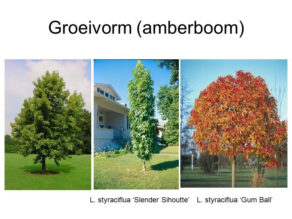 Groeivorm (amberboom) L. styraciflua 'Gum Ball'L. styraciflua 'Slender Sihoutte'