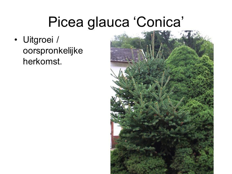 Picea glauca 'Conica' Uitgroei / oorspronkelijke herkomst.