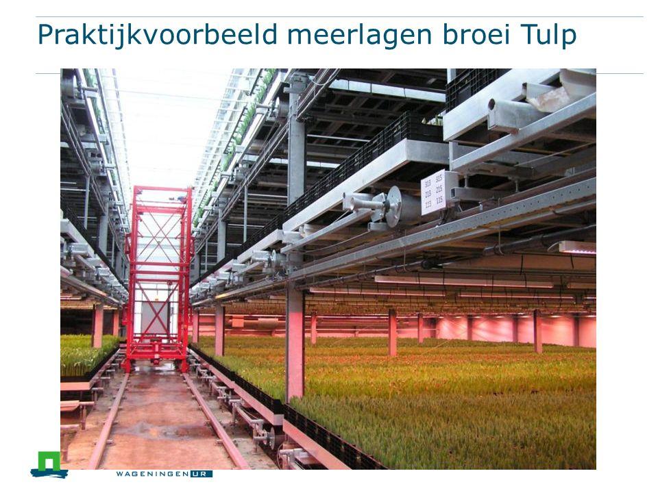 Praktijkvoorbeeld meerlagen broei Tulp