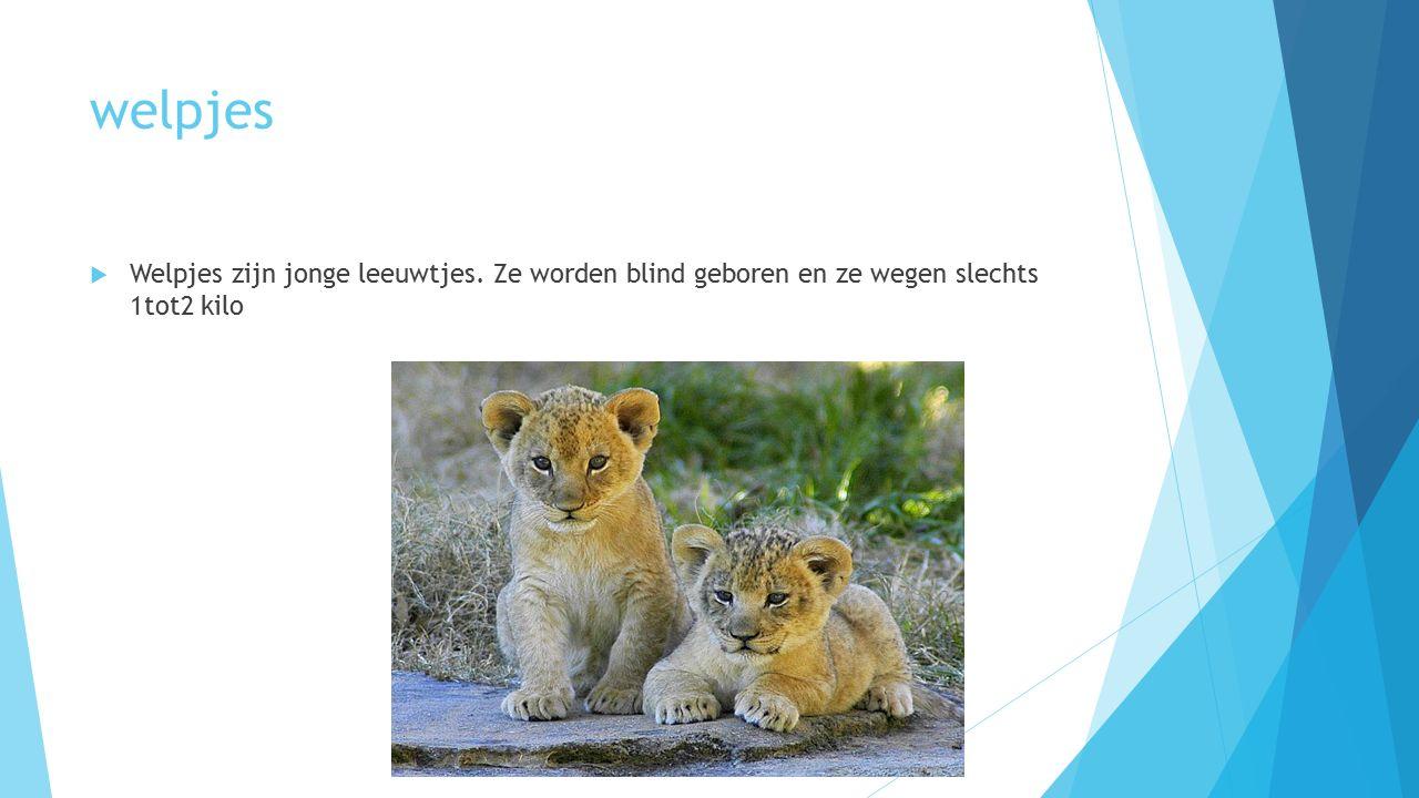 welpjes  Welpjes zijn jonge leeuwtjes. Ze worden blind geboren en ze wegen slechts 1tot2 kilo