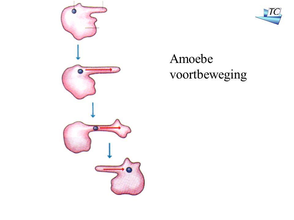 Amoebe voortbeweging