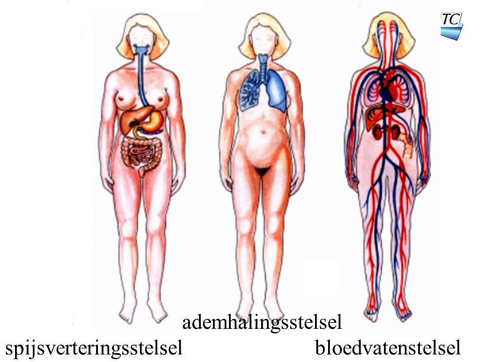 spijsverteringsstelsel ademhalingsstelsel bloedvatenstelsel