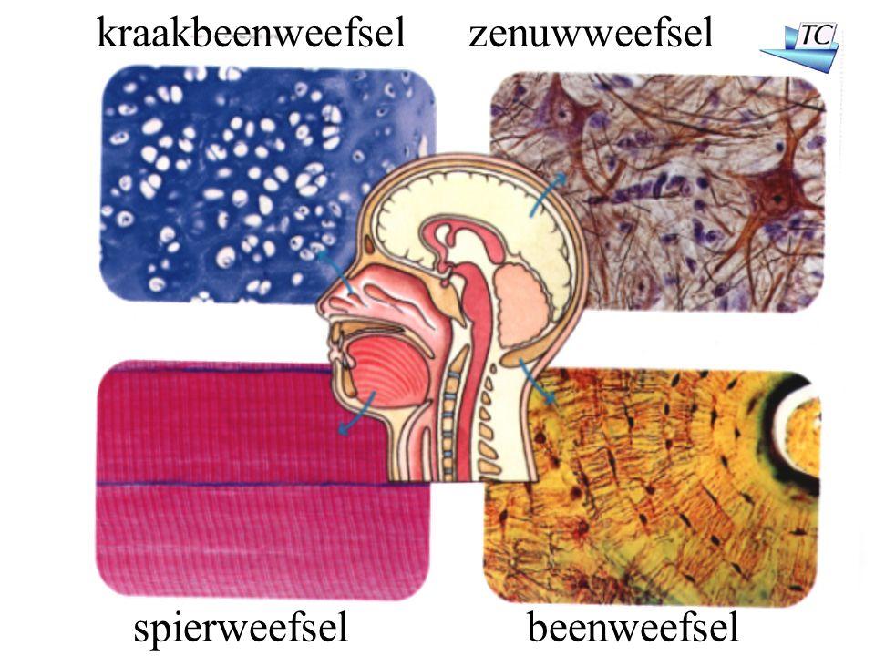 zenuwweefsel spierweefselbeenweefsel kraakbeenweefsel