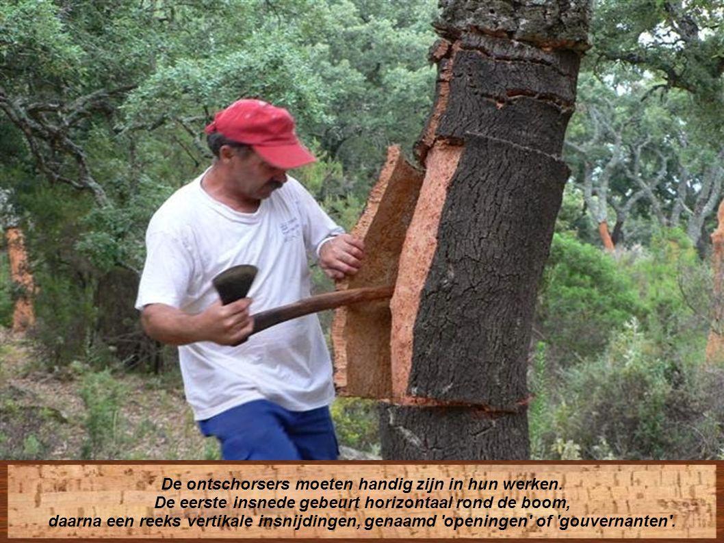 De extractie gebeurt in de zomer, de beste periode om de boom niet te beschadigen en om te vermijden dat de reproductie stopt.