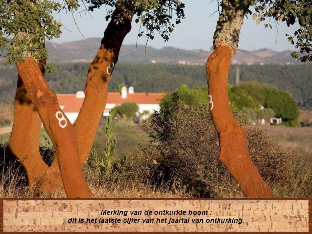 Indien zij te diep insnijden, riskeren zij de « falogeen » van de boom te beschadigen : dit is de strook die verantwoordelijk is voor de verdere ontwikkeling.