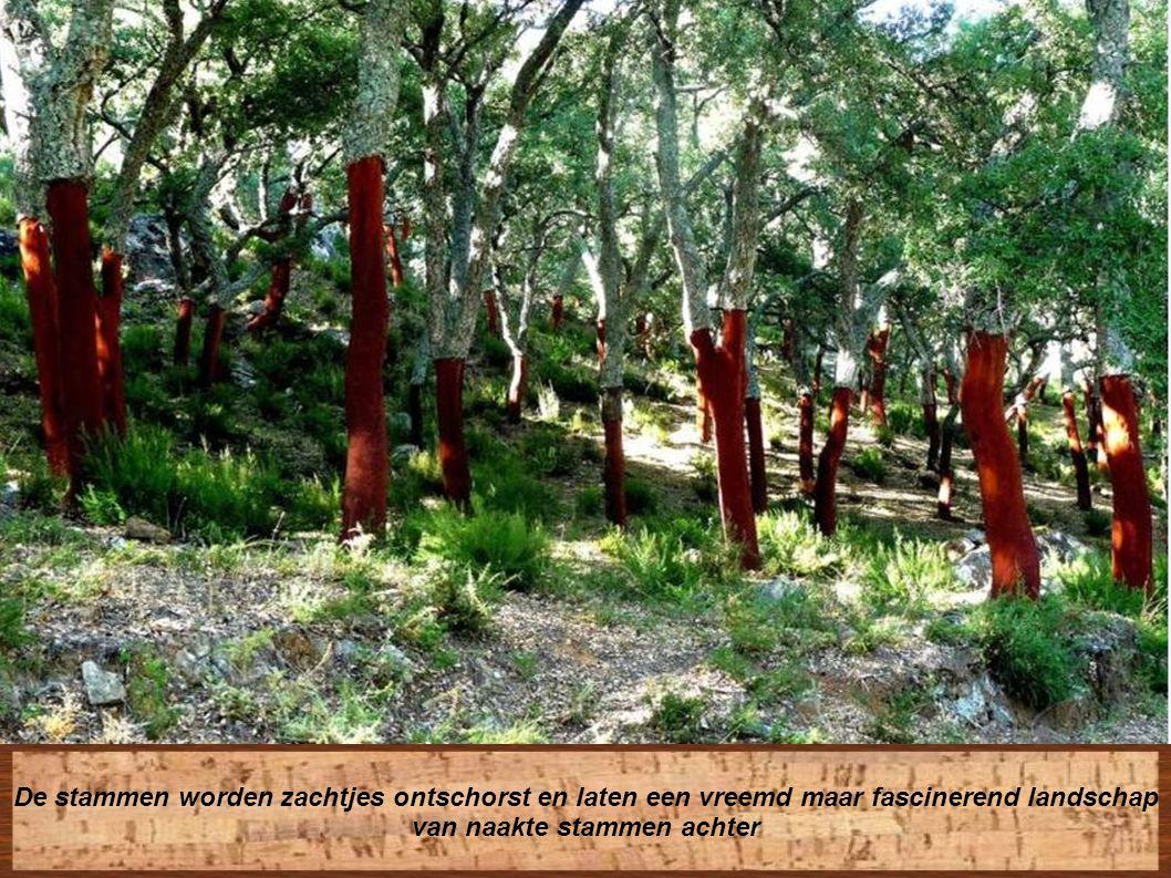 Het ontschorsen geeft geen aanleiding tot afsterven van de boom