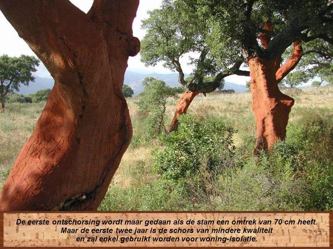De stammen worden zachtjes ontschorst en laten een vreemd maar fascinerend landschap van naakte stammen achter
