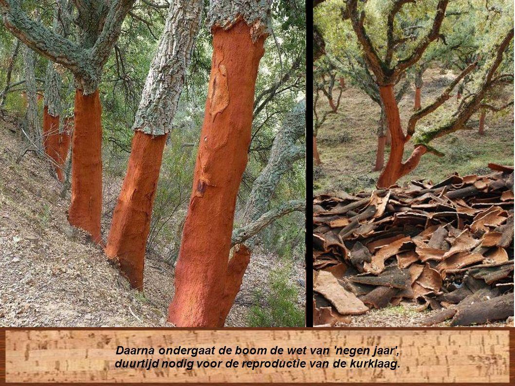 De bomen kunnen 200 jaar oud worden. Men moet 25 jaar wachten voor de eerste kurkextractie.