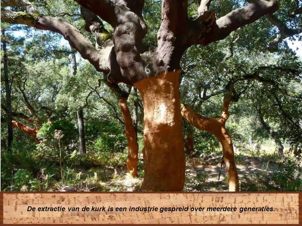 Daarna ondergaat de boom de wet van negen jaar , duurtijd nodig voor de reproductie van de kurklaag.
