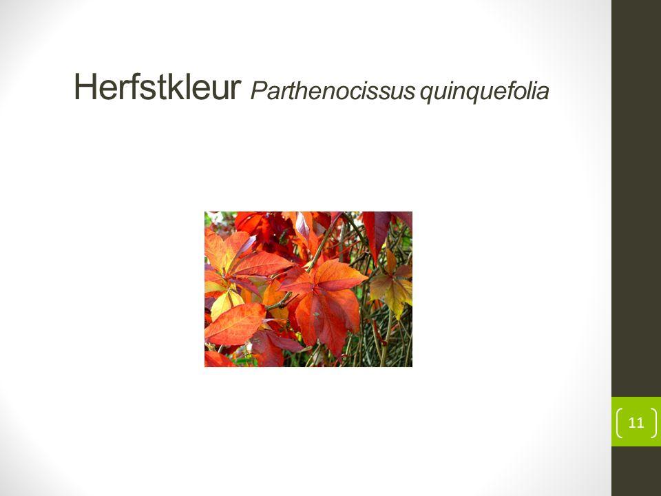 Herfstkleur Parthenocissus quinquefolia 11