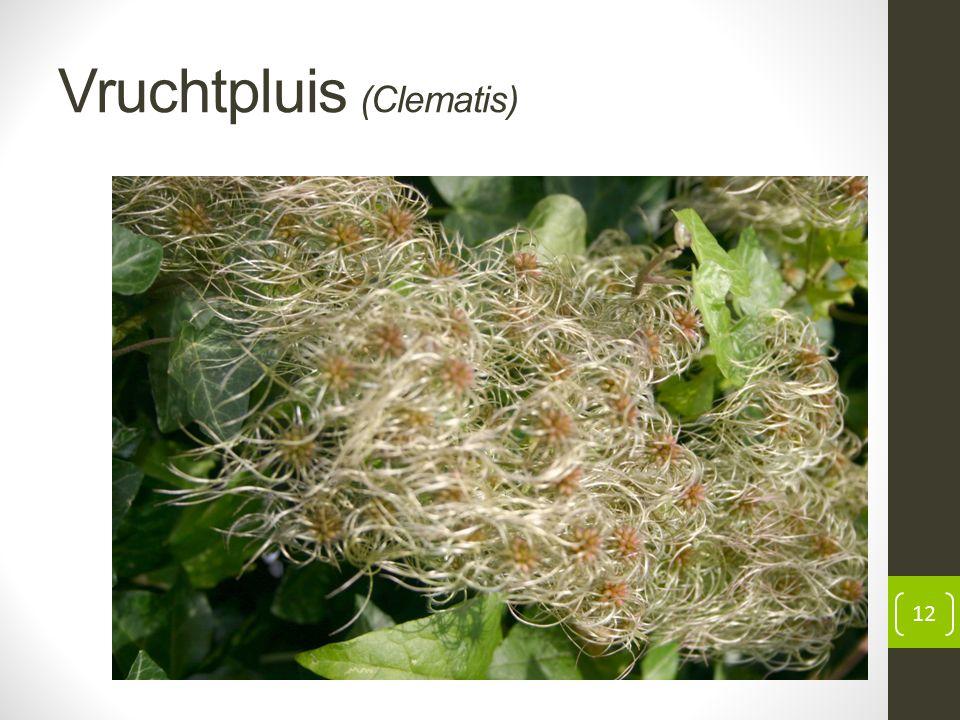 Vruchtpluis (Clematis) 12