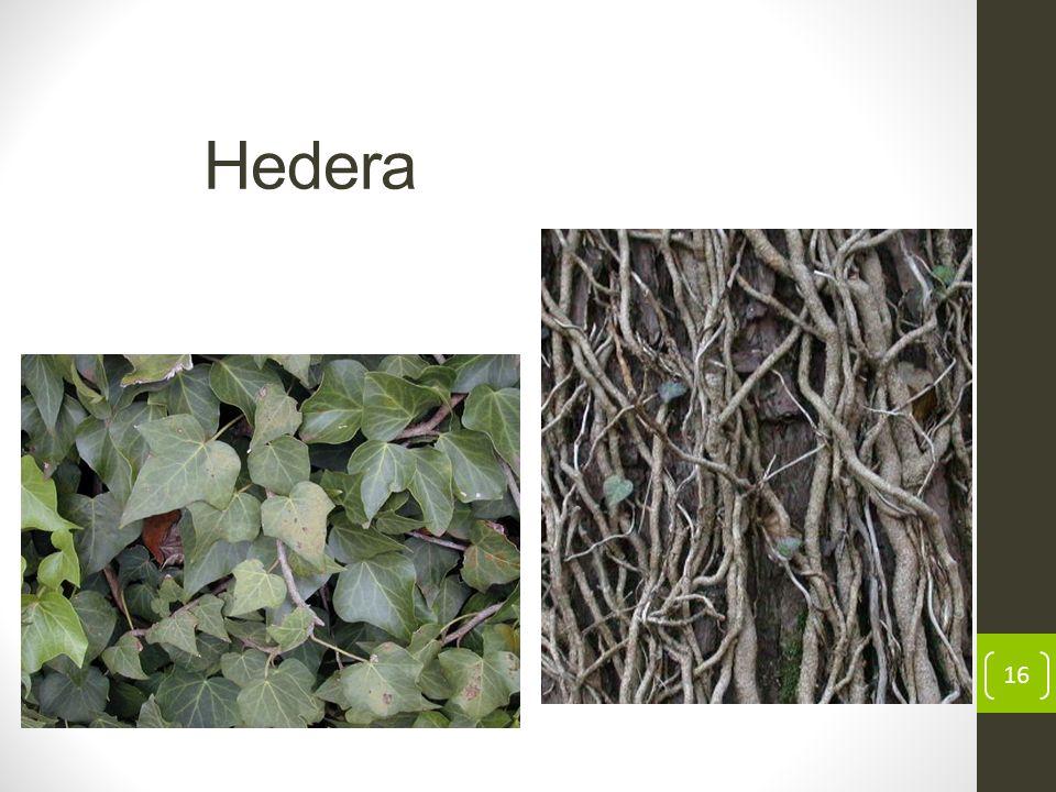 Hedera 16
