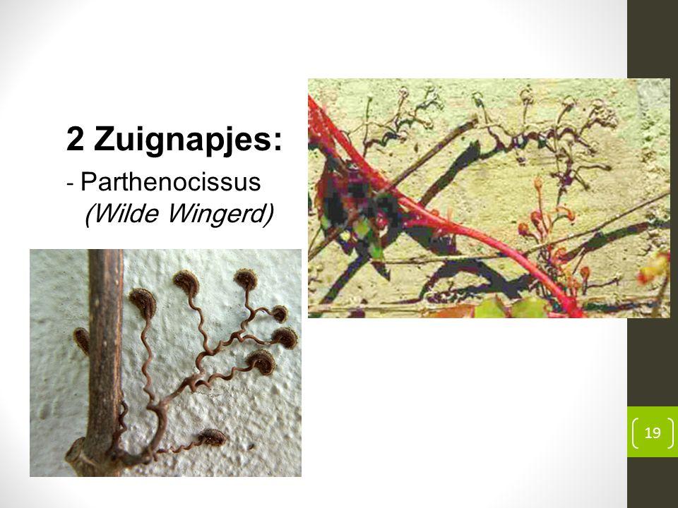2 Zuignapjes: - Parthenocissus (Wilde Wingerd) 19