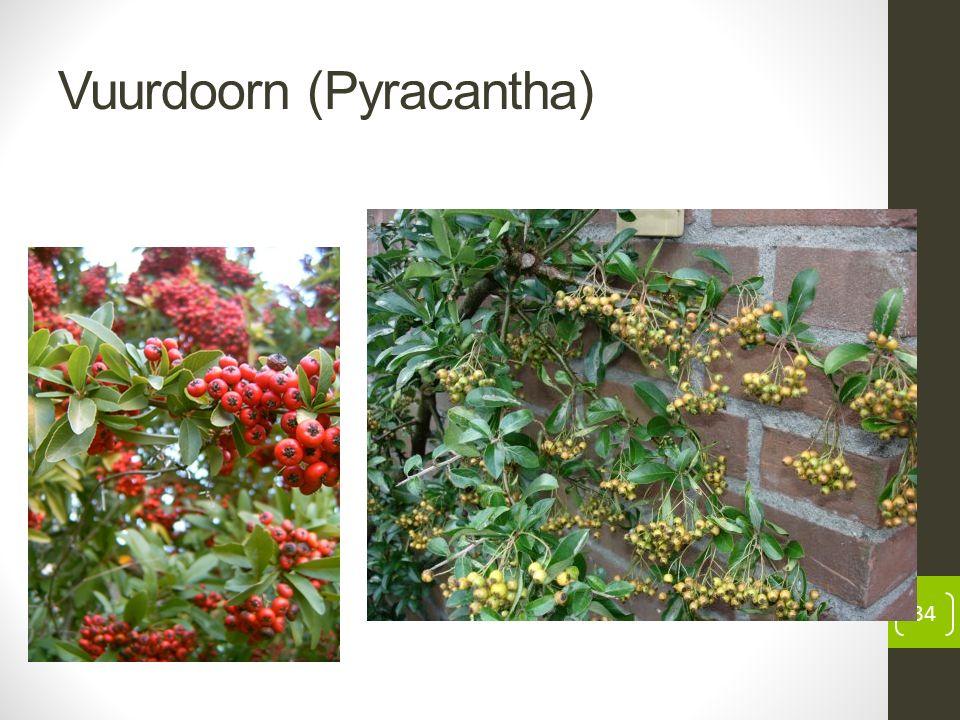 Vuurdoorn (Pyracantha) 34