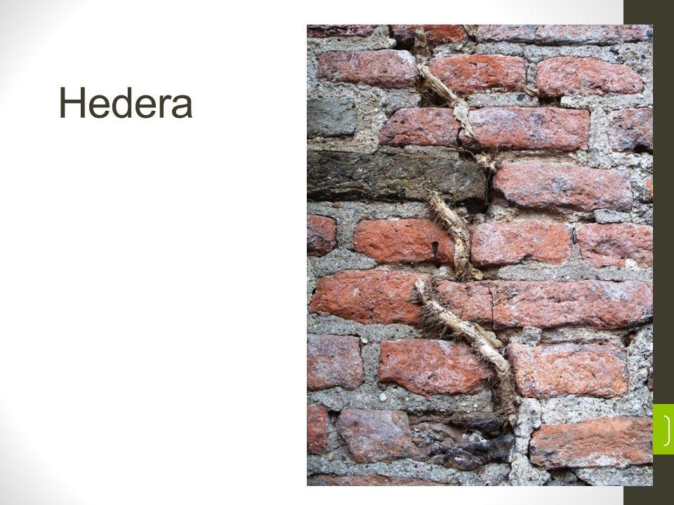 Hedera 5