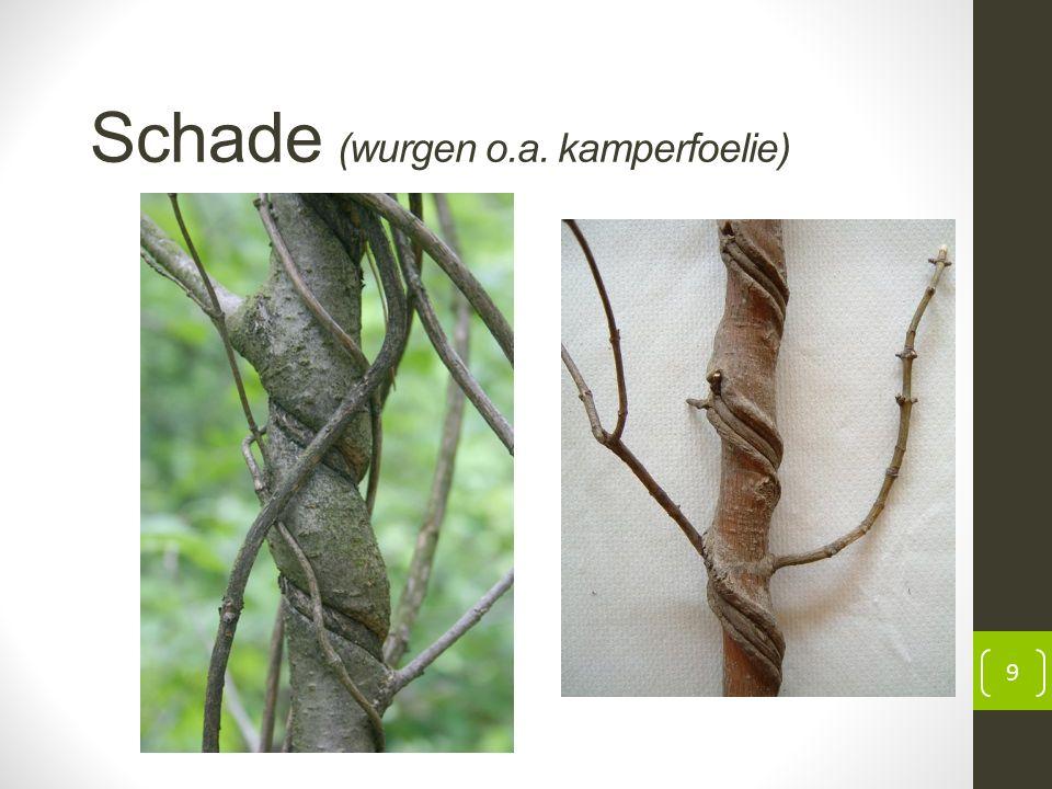 Schade (wurgen o.a. kamperfoelie) 9