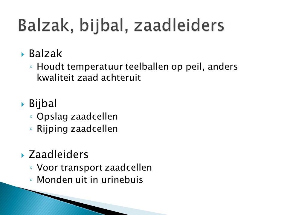  Balzak ◦ Houdt temperatuur teelballen op peil, anders kwaliteit zaad achteruit  Bijbal ◦ Opslag zaadcellen ◦ Rijping zaadcellen  Zaadleiders ◦ Voo