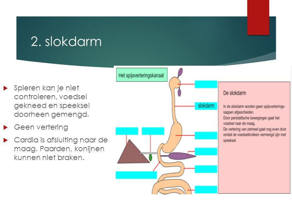 2. slokdarm  Spieren kan je niet controleren, voedsel gekneed en speeksel doorheen gemengd.  Geen vertering  Cardia is afsluiting naar de maag. Paa