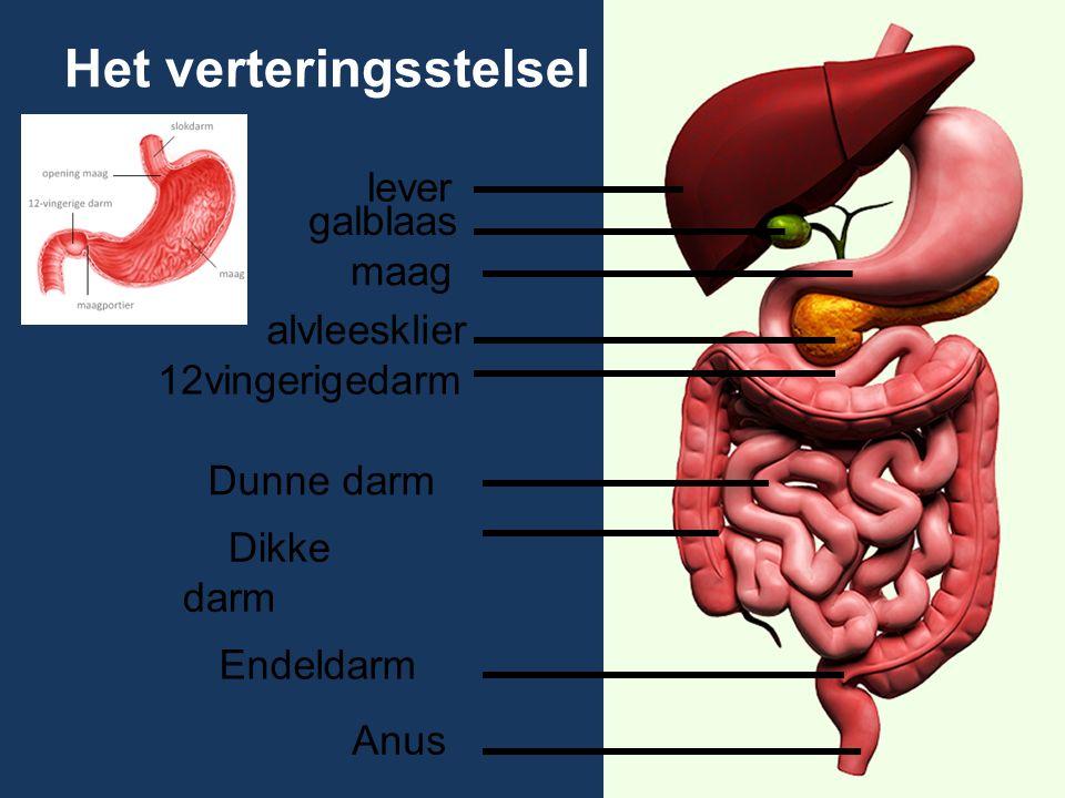 Het verteringsstelsel lever galblaas alvleesklier 12vingerigedarm Dunne darm Dikke darm Endeldarm Anus maag