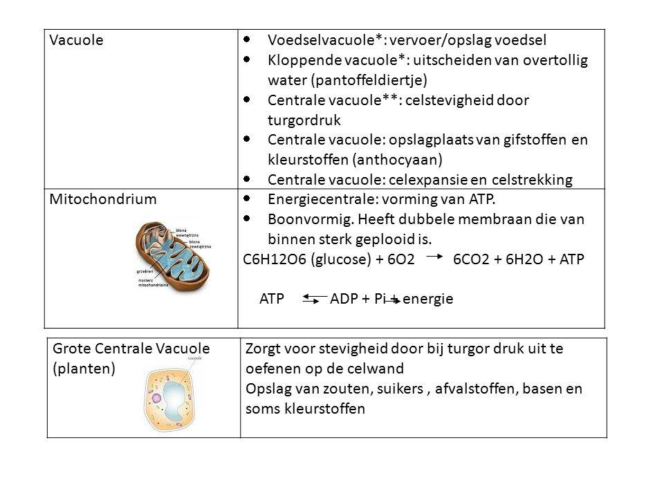 Vacuole  Voedselvacuole*: vervoer/opslag voedsel  Kloppende vacuole*: uitscheiden van overtollig water (pantoffeldiertje)  Centrale vacuole**: celstevigheid door turgordruk  Centrale vacuole: opslagplaats van gifstoffen en kleurstoffen (anthocyaan)  Centrale vacuole: celexpansie en celstrekking Mitochondrium  Energiecentrale: vorming van ATP.