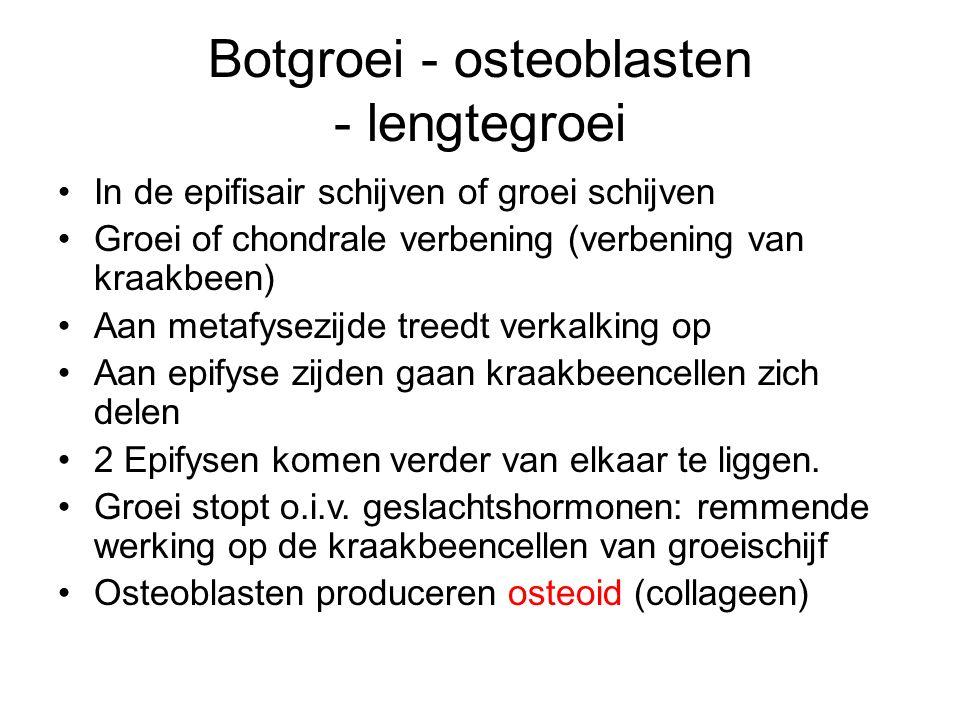 Botgroei - osteoblasten - lengtegroei In de epifisair schijven of groei schijven Groei of chondrale verbening (verbening van kraakbeen) Aan metafysezijde treedt verkalking op Aan epifyse zijden gaan kraakbeencellen zich delen 2 Epifysen komen verder van elkaar te liggen.