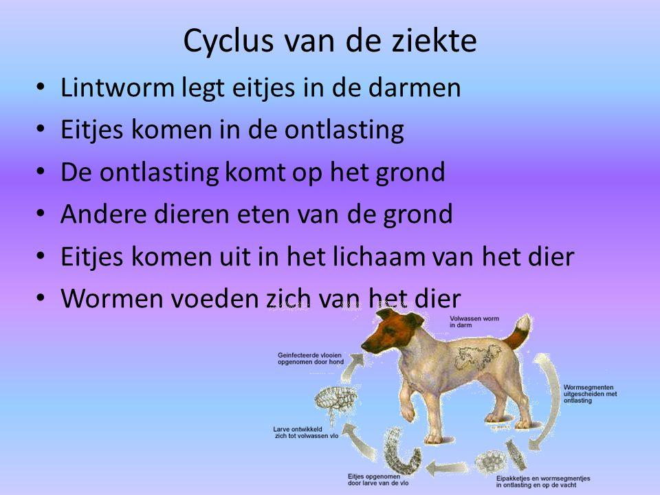 Cyclus van de ziekte Lintworm legt eitjes in de darmen Eitjes komen in de ontlasting De ontlasting komt op het grond Andere dieren eten van de grond E
