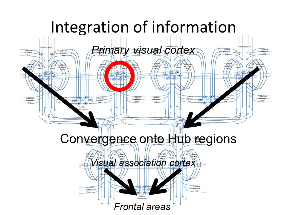 Integration of information Convergence onto Hub regions Visual association cortex Primary visual cortex Frontal areas