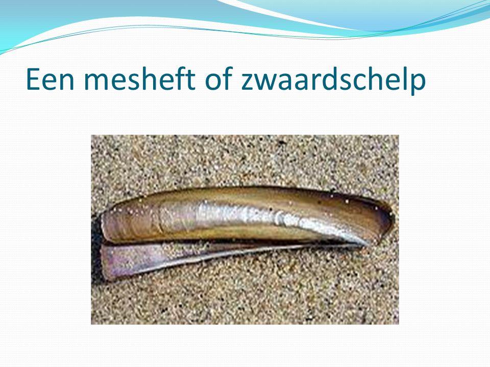Een mesheft of zwaardschelp