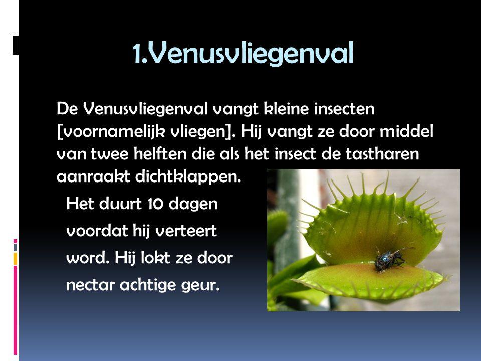 1.Venusvliegenval De Venusvliegenval vangt kleine insecten [voornamelijk vliegen].