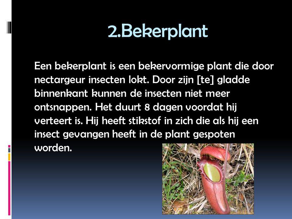 2.Bekerplant Een bekerplant is een bekervormige plant die door nectargeur insecten lokt.