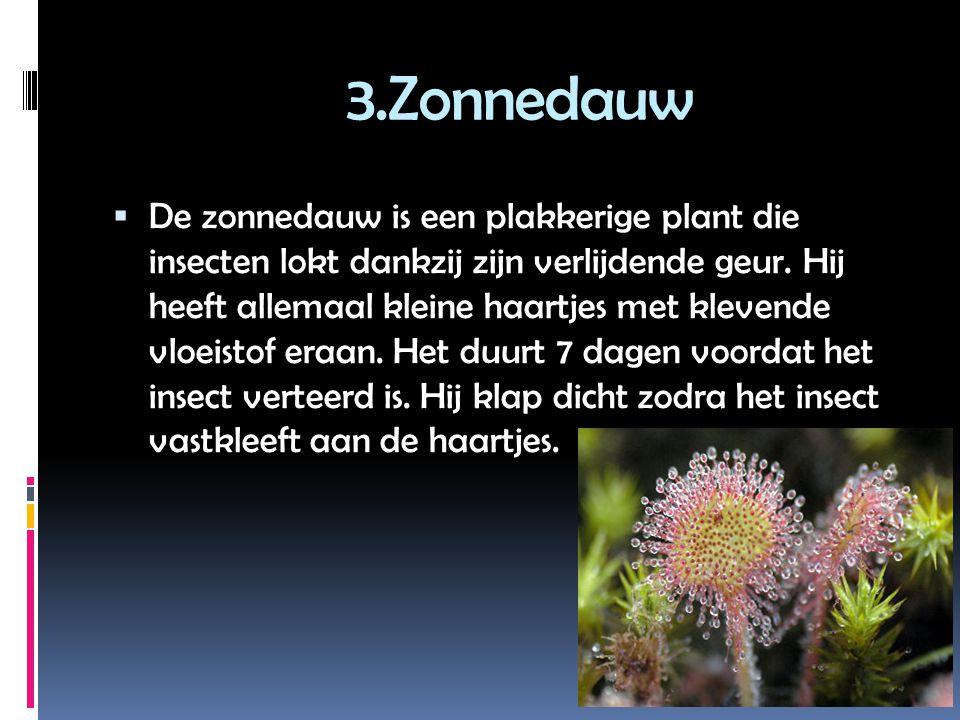 3.Zonnedauw  De zonnedauw is een plakkerige plant die insecten lokt dankzij zijn verlijdende geur.