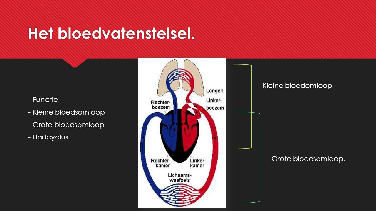 Het bloedvatenstelsel. - Functie - Kleine bloedsomloop - Grote bloedsomloop - Hartcyclus - Functie - Kleine bloedsomloop - Grote bloedsomloop - Hartcy