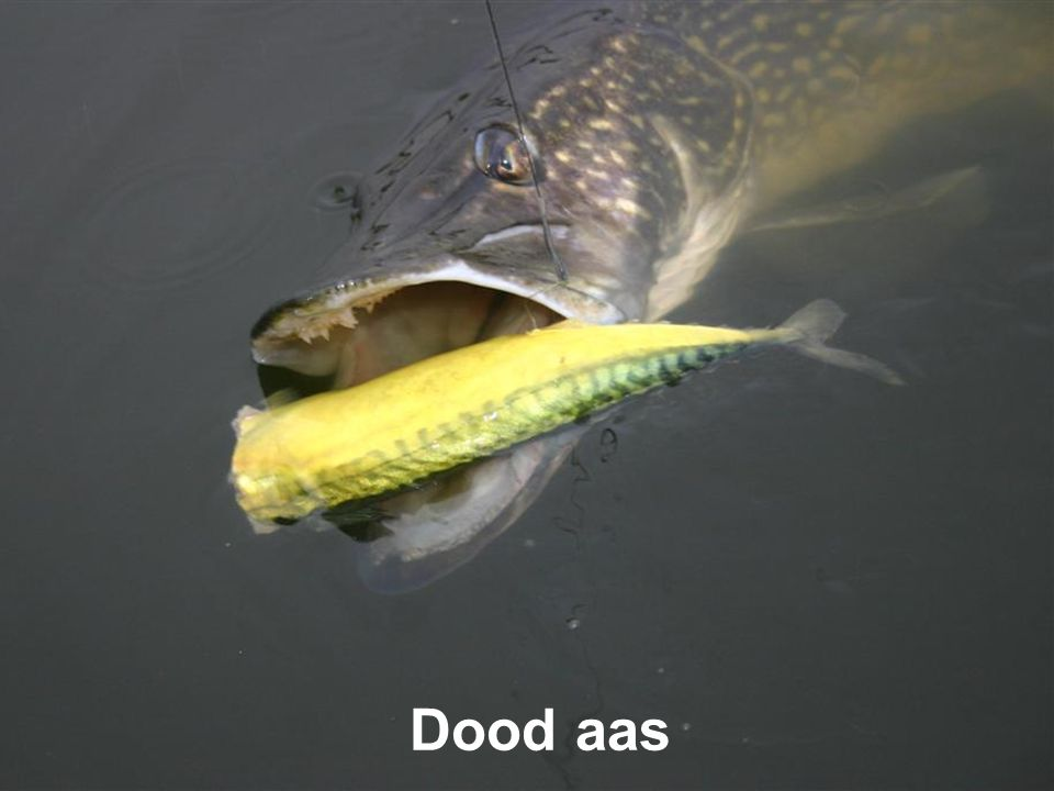 Dood aas
