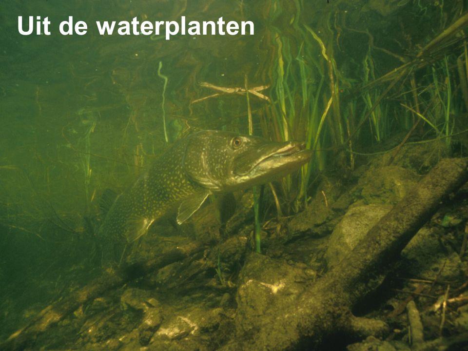 Uit de waterplanten