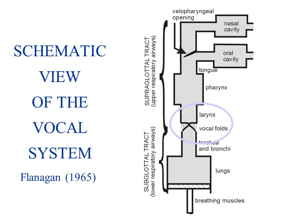 SCHEMATIC VIEW OF THE VOCAL SYSTEM Flanagan (1965)