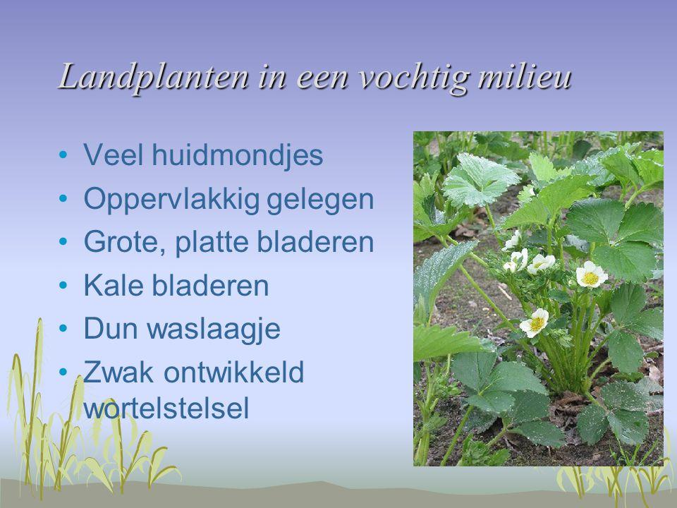 Landplanten in een vochtig milieu Veel huidmondjes Oppervlakkig gelegen Grote, platte bladeren Kale bladeren Dun waslaagje Zwak ontwikkeld wortelstelsel