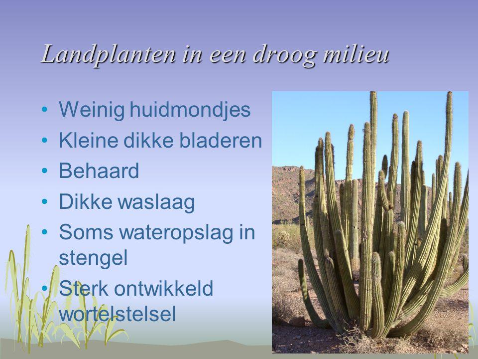Landplanten in een droog milieu Weinig huidmondjes Kleine dikke bladeren Behaard Dikke waslaag Soms wateropslag in stengel Sterk ontwikkeld wortelstelsel