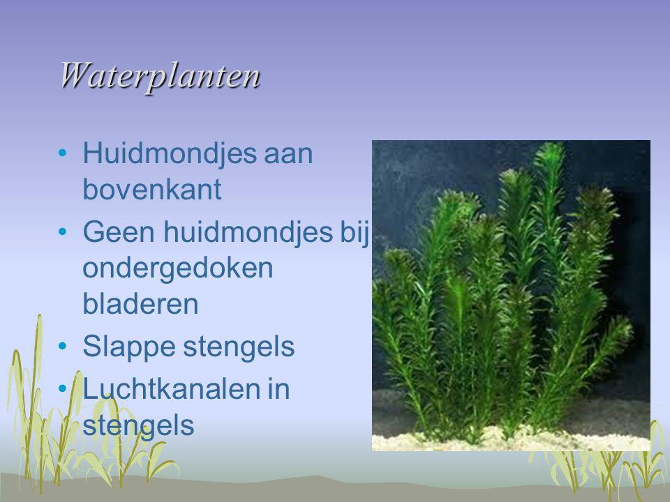 Waterplanten Huidmondjes aan bovenkant Geen huidmondjes bij ondergedoken bladeren Slappe stengels Luchtkanalen in stengels