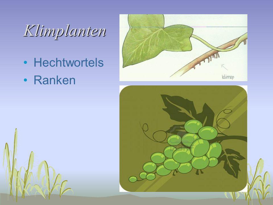 Klimplanten Hechtwortels Ranken